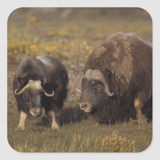 muskox, Ovibos moschatus, bull and cow on the Square Sticker