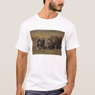 muskox, Ovibos moschatus, bull and cow on the T-Shirt