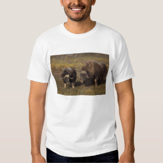 muskox, Ovibos moschatus, bull and cow on the Tee Shirt