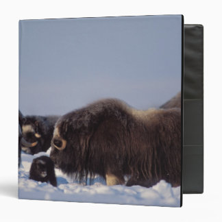 muskox, Ovibos moschatus, bull and cow with Vinyl Binder