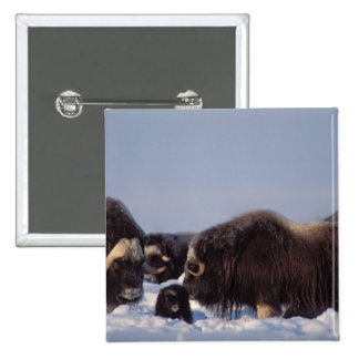 muskox, Ovibos moschatus, bull and cow with Button