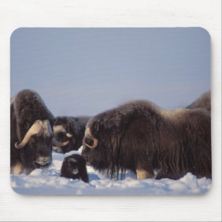 muskox, Ovibos moschatus, bull and cow with Mouse Pad