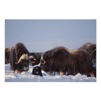 muskox, Ovibos moschatus, bull and cow with Photo Print