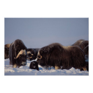 muskox, Ovibos moschatus, bull and cow with Poster