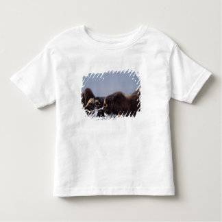 muskox, Ovibos moschatus, bull and cow with Shirt