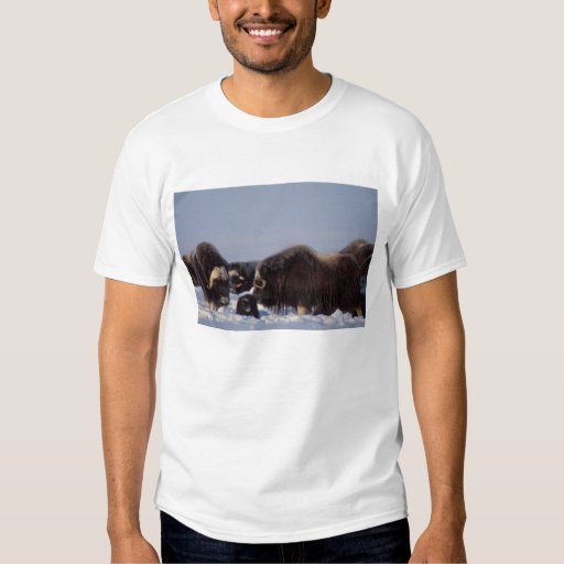 muskox, Ovibos moschatus, bull and cow with Tee Shirts