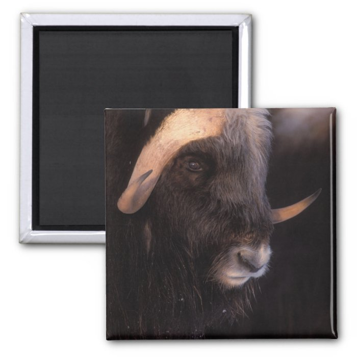 muskox, Ovibos moschatus, bull on the central 2 Inch Square Magnet