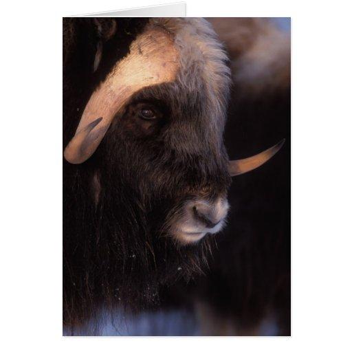 muskox, Ovibos moschatus, bull on the central Card