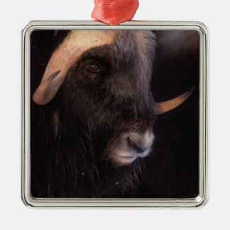 muskox, Ovibos moschatus, bull on the central Metal Ornament