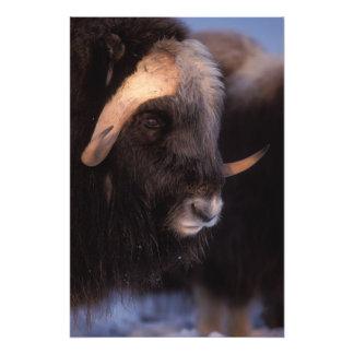 muskox, Ovibos moschatus, bull on the central Photo Print