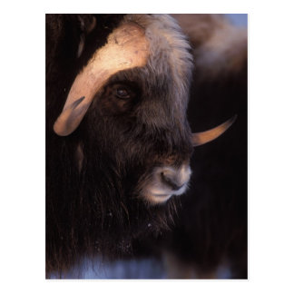 muskox, Ovibos moschatus, bull on the central Postcard