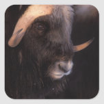 muskox, Ovibos moschatus, bull on the central Square Sticker