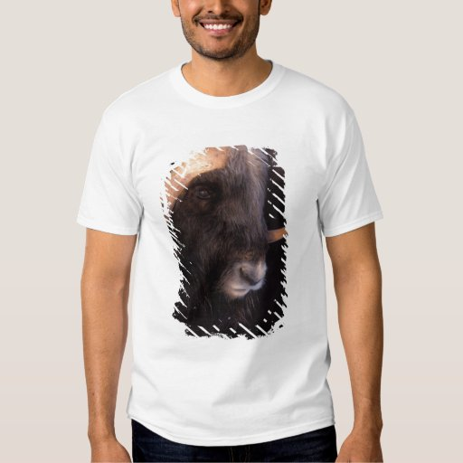 muskox, Ovibos moschatus, bull on the central T-Shirt