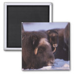 muskox, Ovibos moschatus, cow and newborn calf 2 Inch Square Magnet