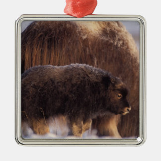 muskox, Ovibos moschatus, cow and newborn calf 2 Metal Ornament