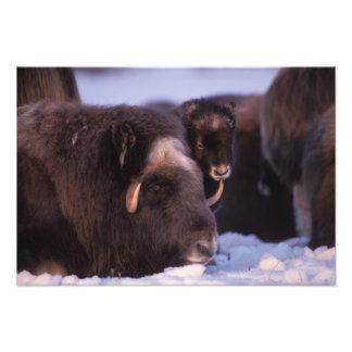 muskox, Ovibos moschatus, cow and newborn calf 2 Photo