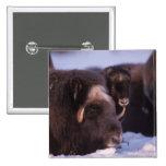 muskox, Ovibos moschatus, cow and newborn calf Pinback Buttons