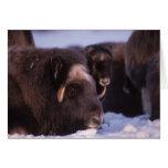 muskox, Ovibos moschatus, cow and newborn calf Card
