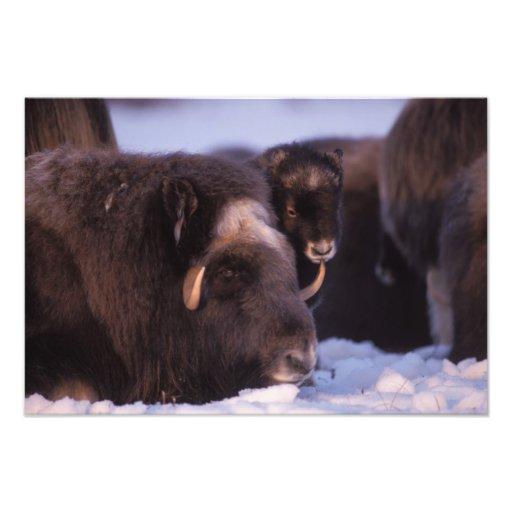 muskox, Ovibos moschatus, cow and newborn calf Photo Print