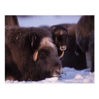muskox, Ovibos moschatus, cow and newborn calf Postcard