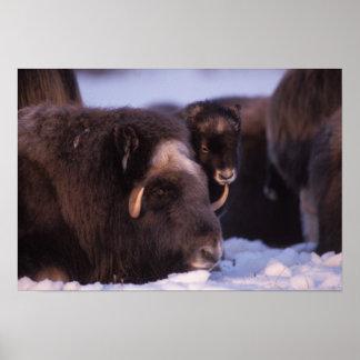 muskox, Ovibos moschatus, cow and newborn calf Poster