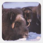 muskox, Ovibos moschatus, cow and newborn calf Stickers