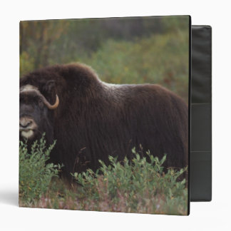 muskox, Ovibos moschatus, cow on the central 2 Binders