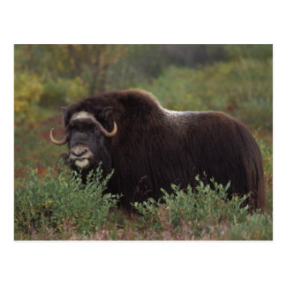 muskox, Ovibos moschatus, cow on the central 2 Postcard