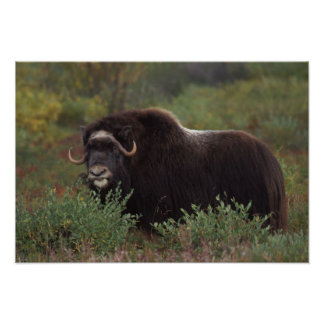 muskox, Ovibos moschatus, cow on the central 2 Print