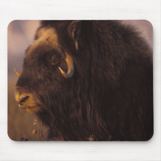 muskox, Ovibos moschatus, cow on the central Mouse Pad
