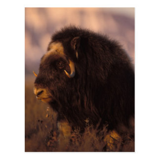 muskox, Ovibos moschatus, cow on the central Post Cards