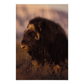 muskox, Ovibos moschatus, cow on the central Poster