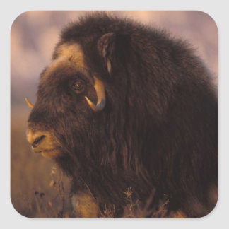 muskox, Ovibos moschatus, cow on the central Square Sticker