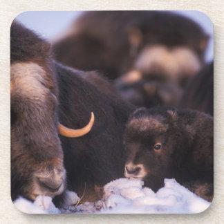 muskox, Ovibos moschatus, cow with newborn, Beverage Coaster