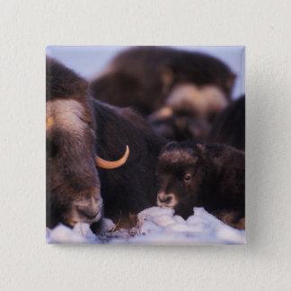 muskox, Ovibos moschatus, cow with newborn, Button
