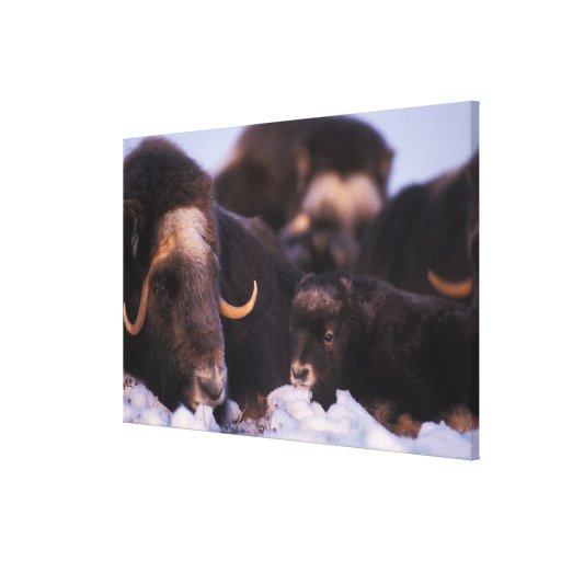 muskox, Ovibos moschatus, cow with newborn, Canvas Print