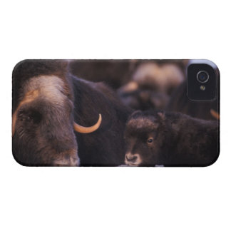 muskox, Ovibos moschatus, cow with newborn, iPhone 4 Case-Mate Cases