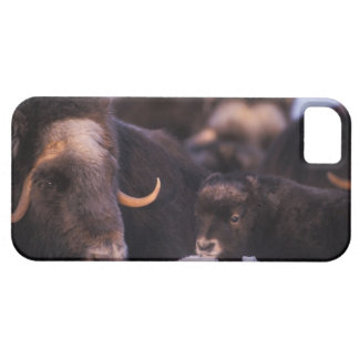 muskox, Ovibos moschatus, cow with newborn, iPhone 5 Covers