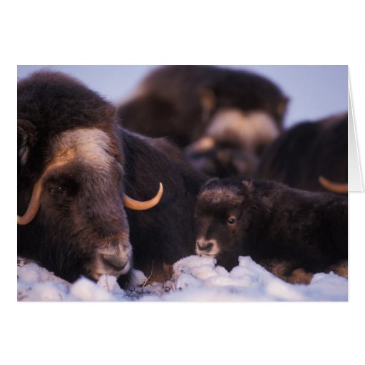 muskox, Ovibos moschatus, cow with newborn, Greeting Card