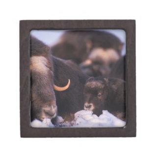 muskox, Ovibos moschatus, cow with newborn, Jewelry Box