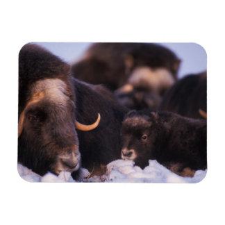 muskox, Ovibos moschatus, cow with newborn, Magnet
