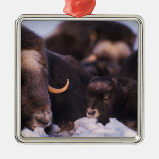 muskox, Ovibos moschatus, cow with newborn, Metal Ornament