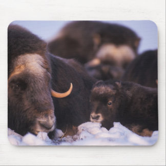 muskox Ovibos moschatus cow with newborn Mouse Pad