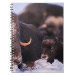 muskox, Ovibos moschatus, cow with newborn, Notebooks
