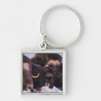 muskox, Ovibos moschatus, cow with newborn, Silver-Colored Square Keychain
