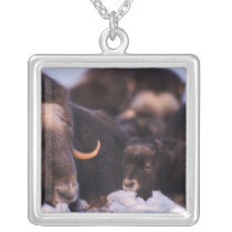 muskox, Ovibos moschatus, cow with newborn, Silver Plated Necklace
