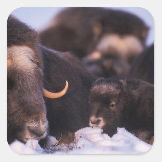 muskox, Ovibos moschatus, cow with newborn, Square Sticker