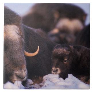 muskox, Ovibos moschatus, cow with newborn, Tile