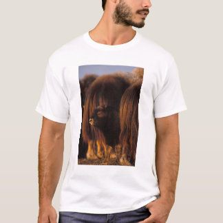 muskox, Ovibos moschatus, newborn calf between T-Shirt
