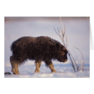 muskox, Ovibos moschatus, newborn calf on the Card